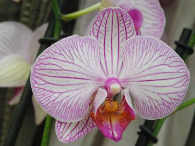 orkidev7